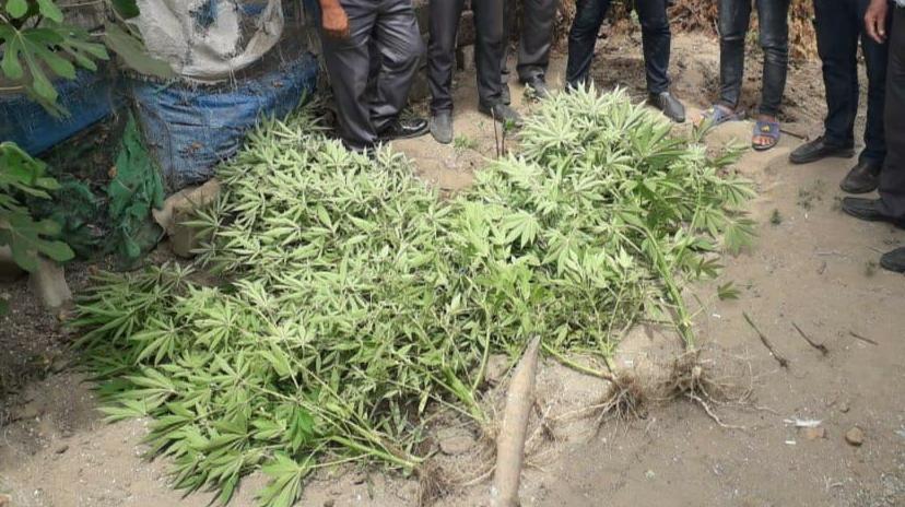 <p><strong>Lənkəran sakinindən 12 kq-a yaxın narkotik bitkilər aşkarlanıb</strong></p>