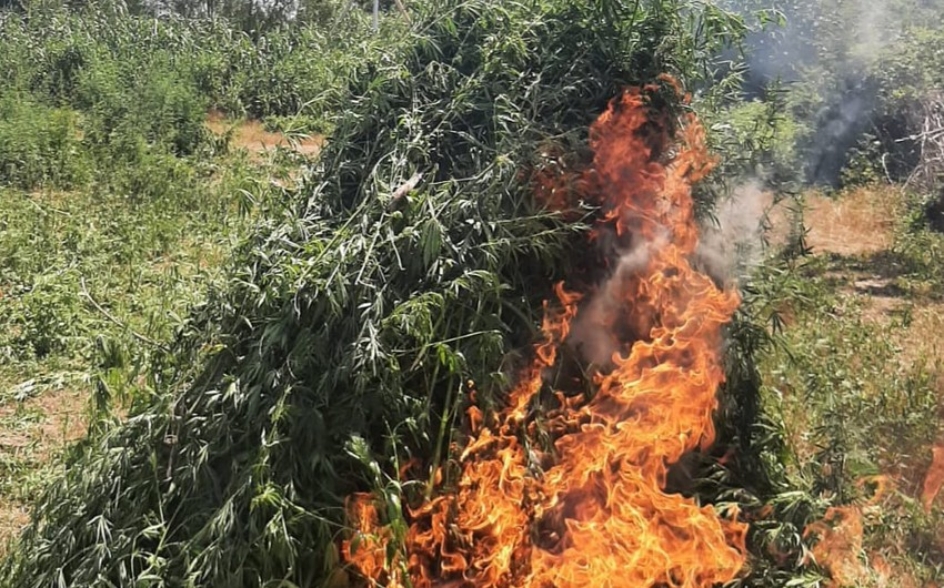 Bərdə və Tərtərdə 5 tondan çox narkotik tərkibli bitkilər aşkarlandı